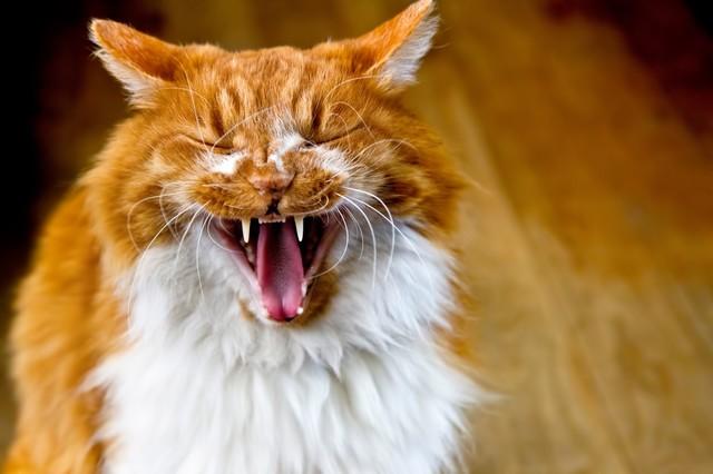 大きくアクビする猫|フリー写真素材・無料ダウンロード-ぱくたそ