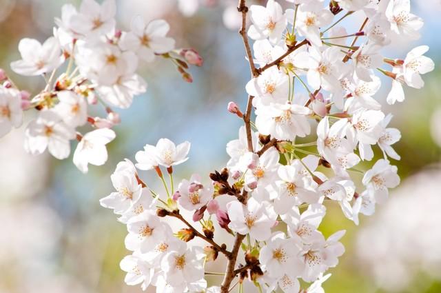 風光る(桜)|フリー写真素材・無料ダウンロード-ぱくたそ