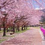 やっとこの季節!おすすめ桜祭りスポット【千葉・神奈川・埼玉編】
