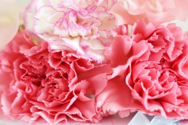 ピンクのカーネーション|写真素材なら「写真AC」無料(フリー)ダウンロードOK