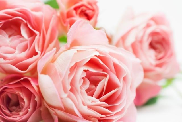 柔らかなピンクのバラ|写真素材なら「写真AC」無料(フリー)ダウンロードOK