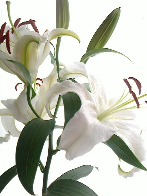 百合の花と開くつぼみ5|写真素材なら「写真AC」無料(フリー)ダウンロードOK